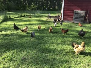 Hens enjoying fresh grass