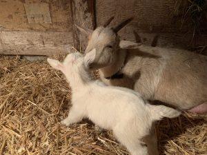 Goats bonding after kidding